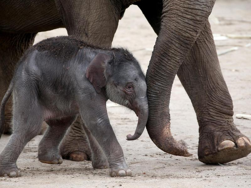 Kölner Zoo Elefantenbaby