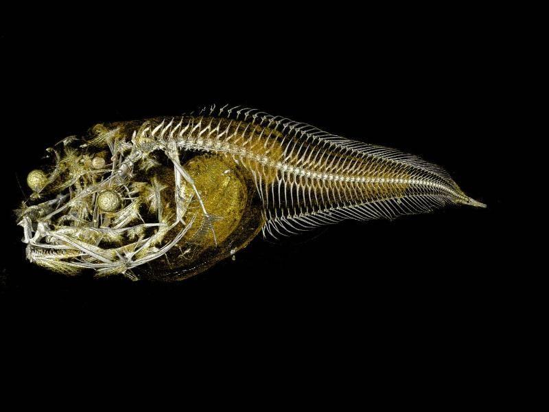 Schneckenfisch