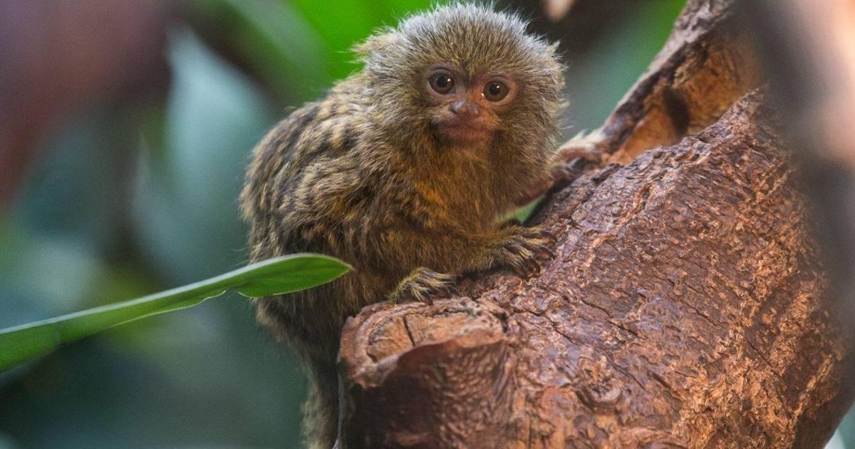 Kleinste Affen Der Welt